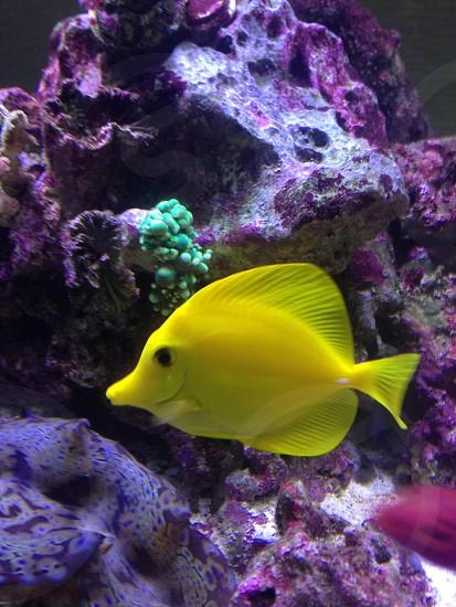 Yellow tang photo