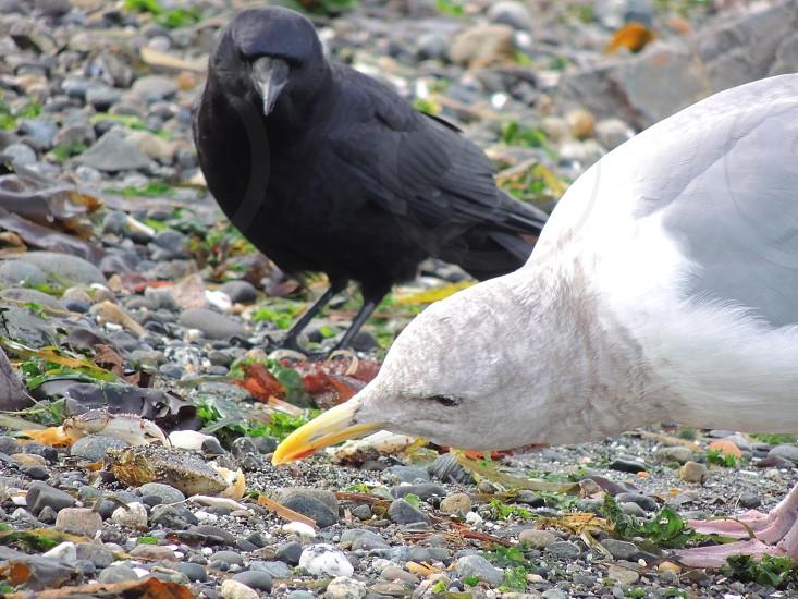 Beach EatsSeagull and Crow photo