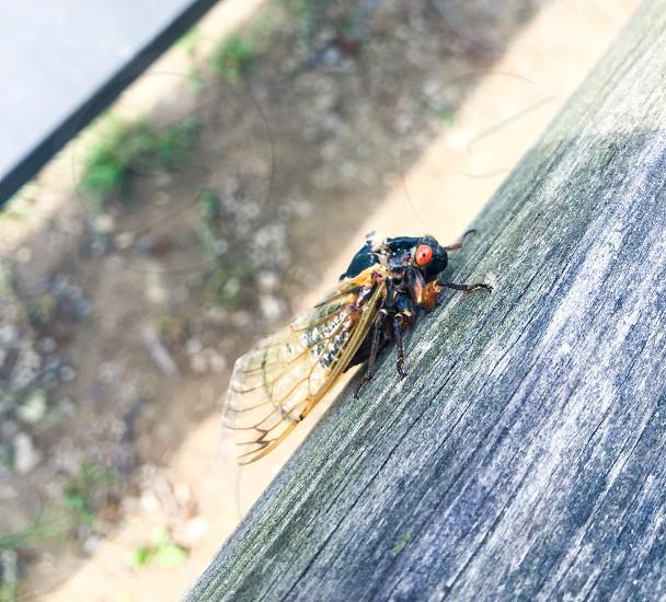 17 year Cicada 2016 photo