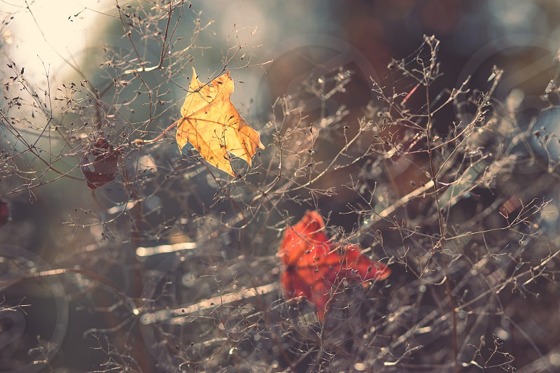 Fall season. Close shot of dry yellow and orange leaves tangled in branches in the autumn. Shallow depth of field photo