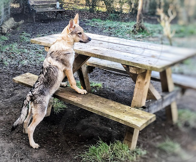 tan and black wolf standing on brown wooden picnic table at daytime photo