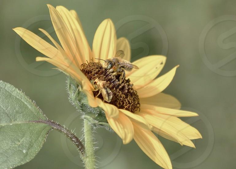 honey bee on yellow sunflower photo