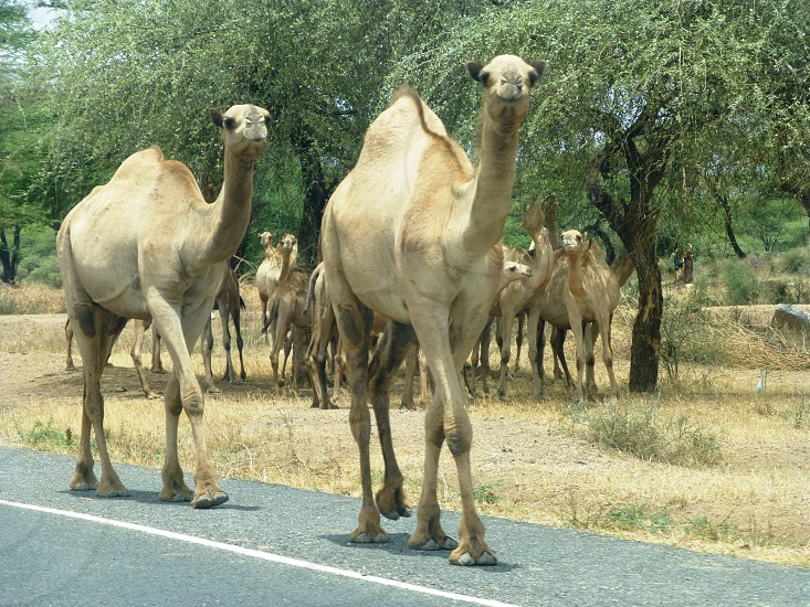 Sharing the road with camels in Kenya photo