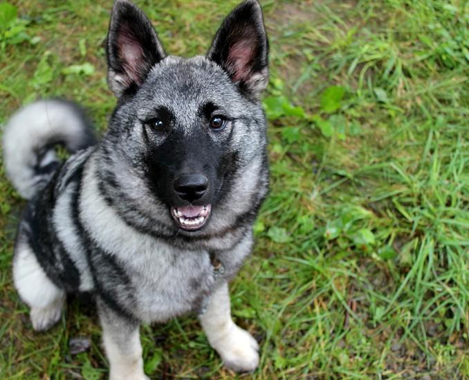 Happy dog. Norwegian Elk-hound. photo