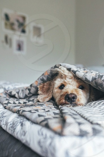 brown dog covered in blanket photo