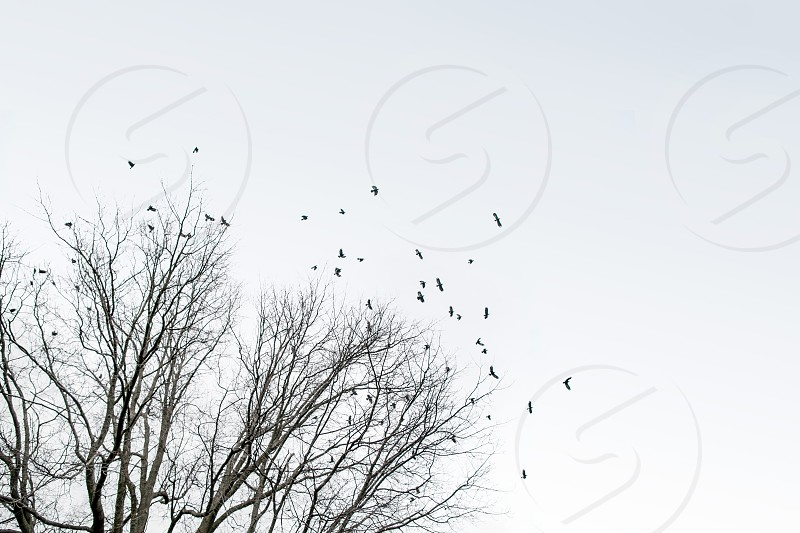 Crows take flight off a tree against a white sky. Winter cold contrast squawk birds freedom black group crowd team spread wings fly branches. photo