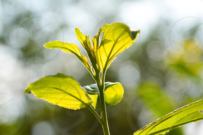 green toothed leaf photo