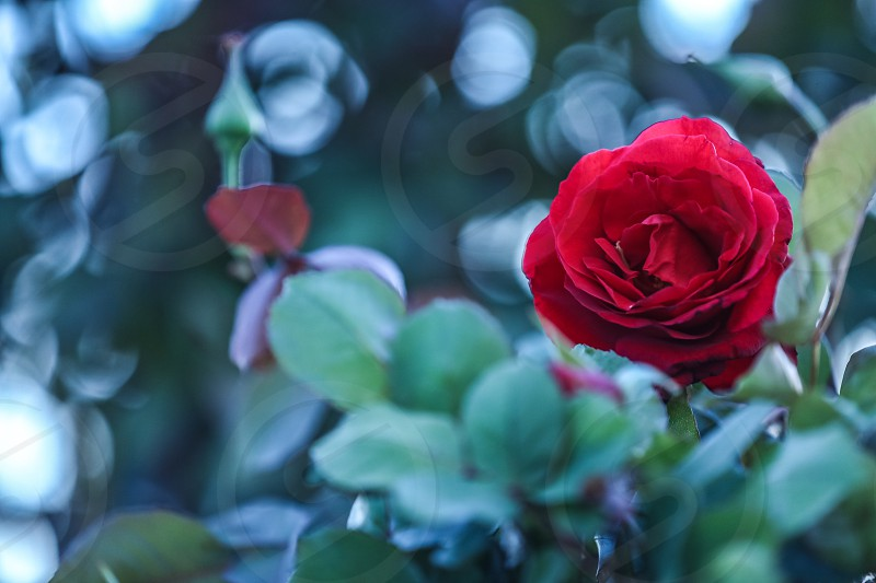 flower rose red red rose green light sunlight natural light pretty blooming floral bokeh nature blur garden gardening Spring April May seasonal season minimalistic minimal minimalism color bright photo
