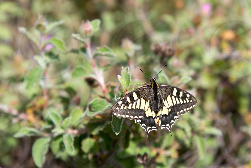 Close-up of a Swallowtail Butterfly in Tuscany photo
