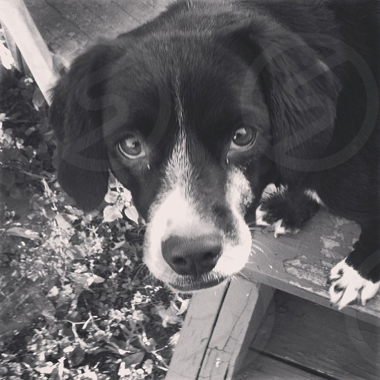 black and white dog on wooden steps photo