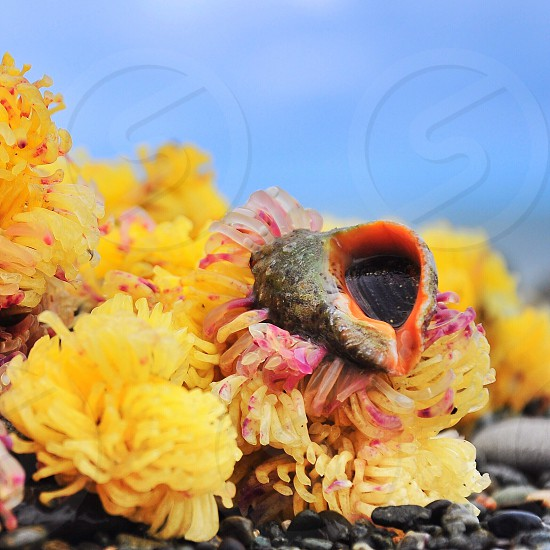 small grey and orange seashell on yellow and pink sea anemones over grey stone gravel photo