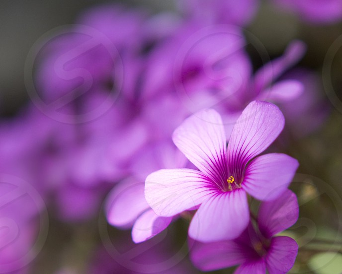 Flowers spring pink photo