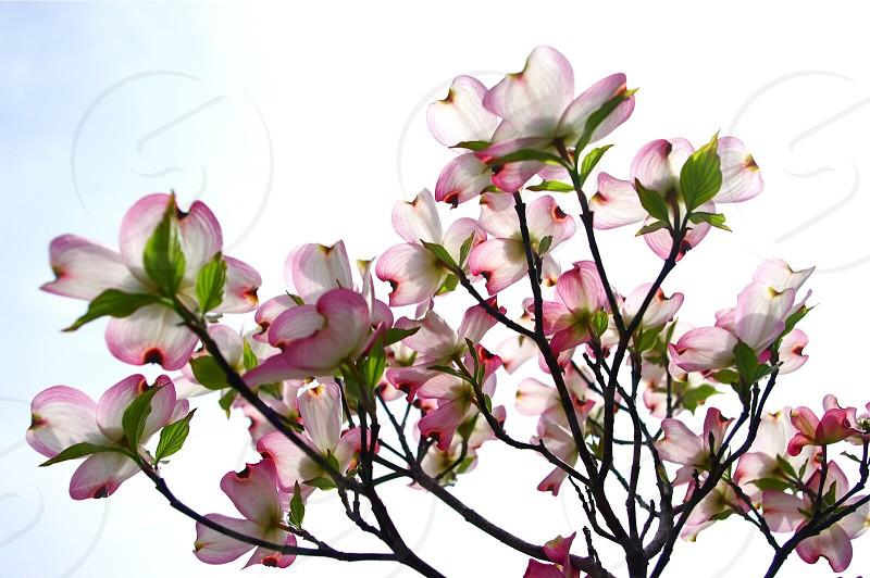 dogwood tree flowers photo
