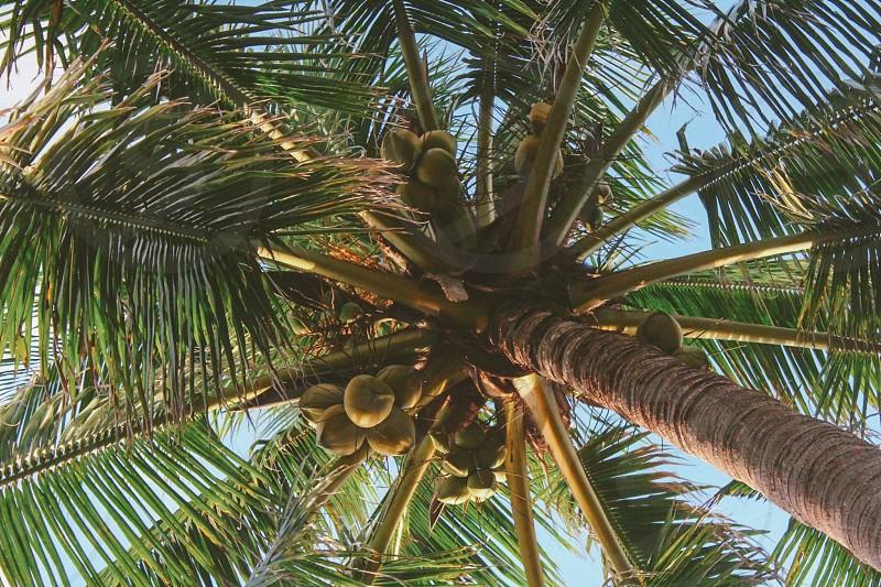 Wild coconuts #tropical #trees #travel #beauty #beach  photo