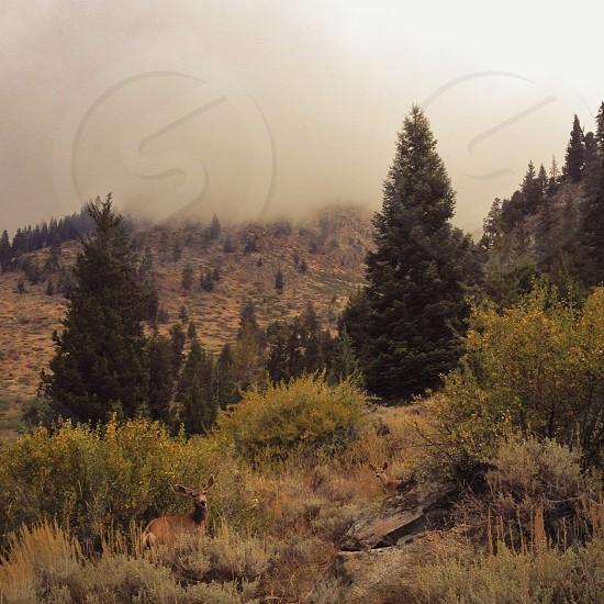 Sequoias  photo
