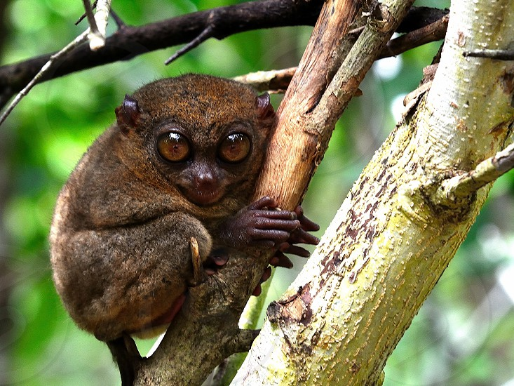 Philippine Tarsier in wildlife photo