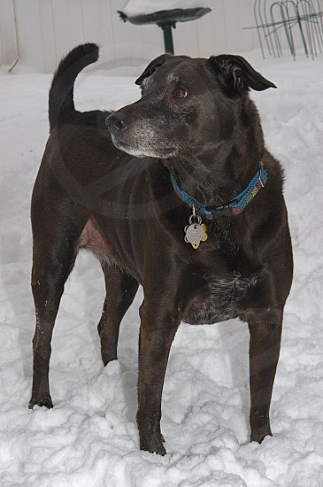 standing dark brown short-hair dog wearing blue collar in white snow photo