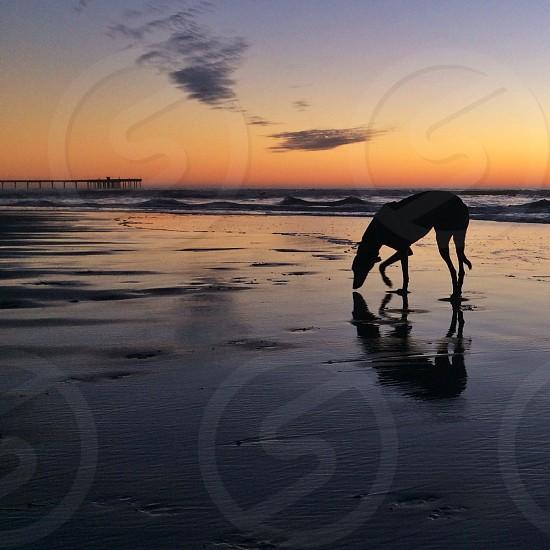 Sandy greyhound reflection  photo