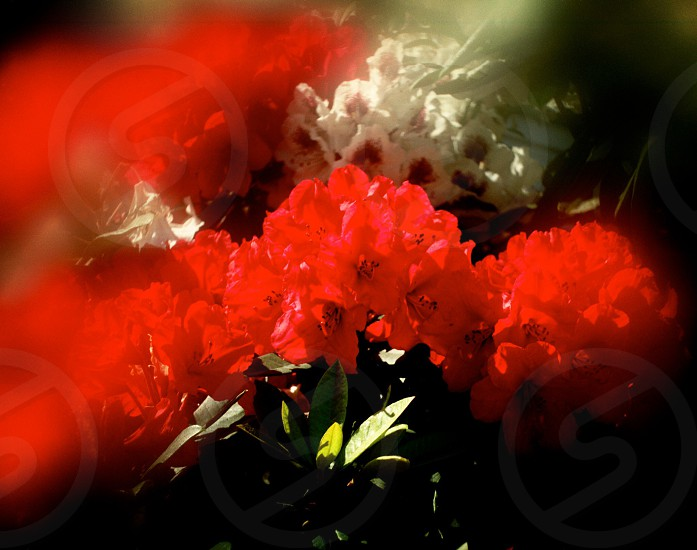 shallow focus photography of red flowers during daytime photo