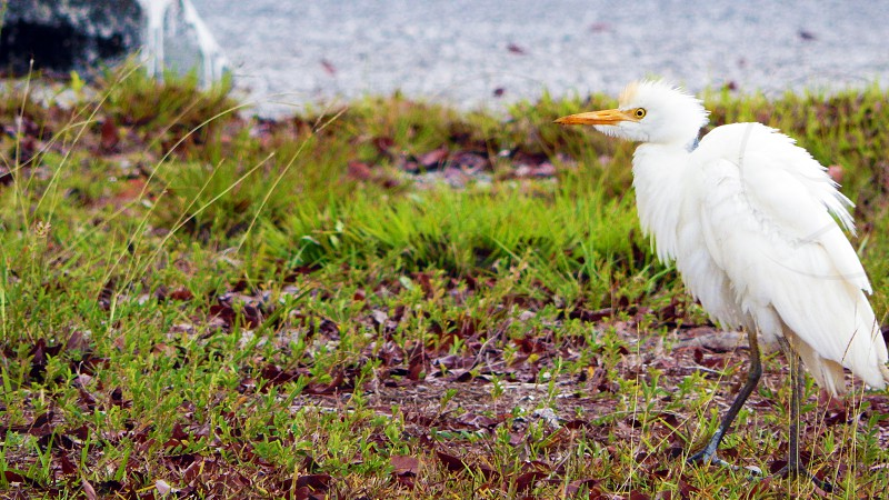 Young White Heron at Everglades National Park in Florida photo