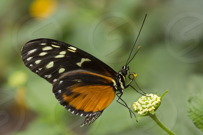 antennae black brown bug butterfly close closeup delicate entomology fauna feeding flora flutter gardens gold golden hecale helicon heliconius indoor insect lepidoptera nature outdoor proboscis spots wildlife winged wings photo