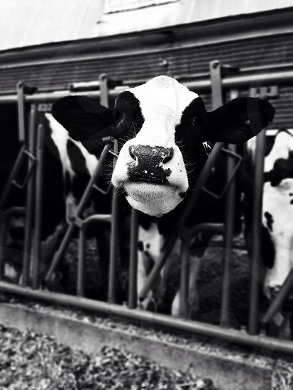 white and black cow  photo