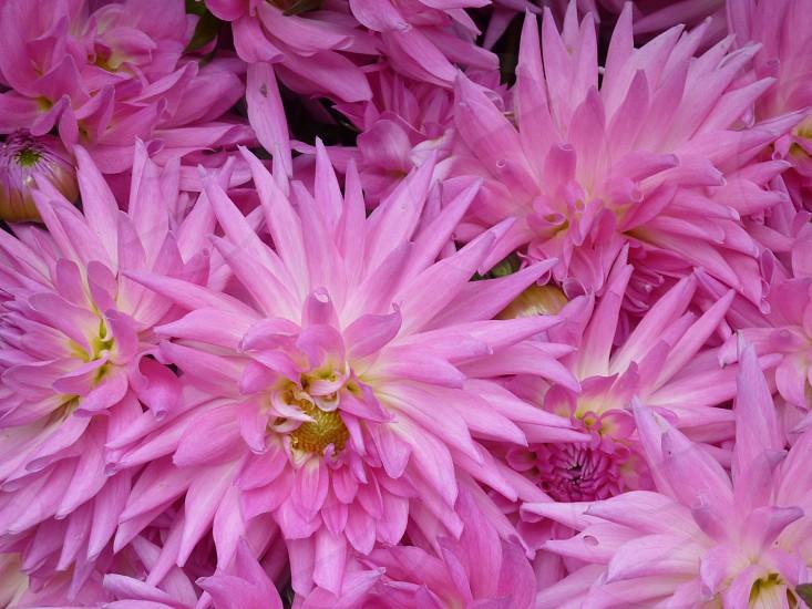 pink dalias photo