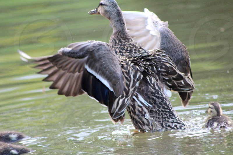 gray duck swims on body of water photo