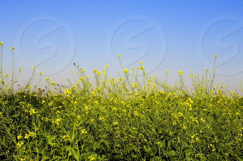 beautiful yellow flowers with blue sky photo