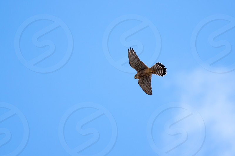 Common Kestrel (Falco tinnunculus) in Tenerife photo