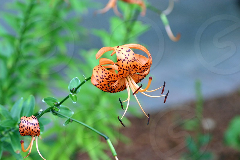 Orange and black Tiger Lilly in full bloom. photo