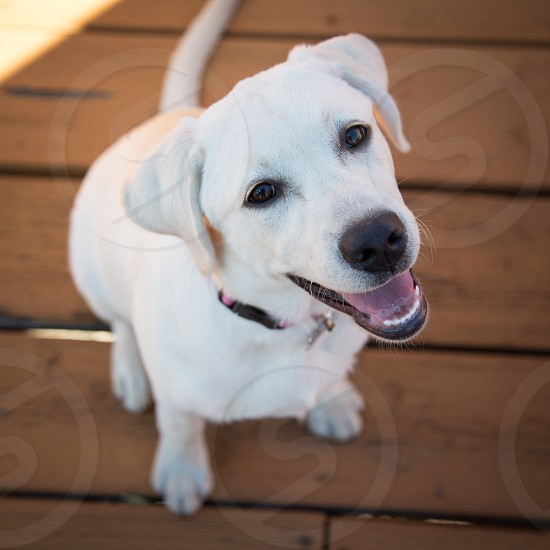 Cute smiling labrador puppy looking up. photo