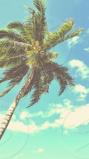 tall palm tree photo