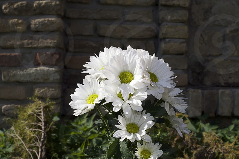 nice white summer flowers in the sunshine photo