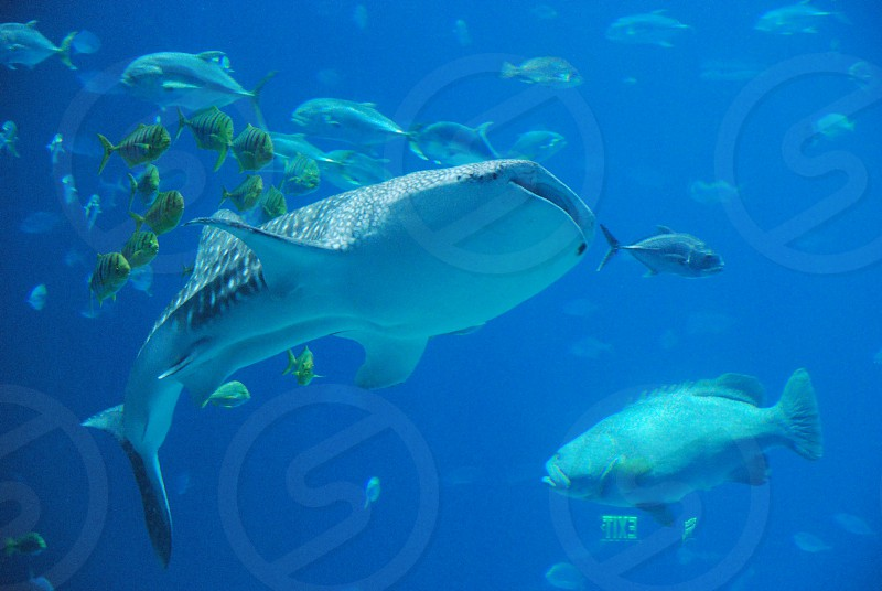 aquarium whale whale shark ocean fish school saltwater photo