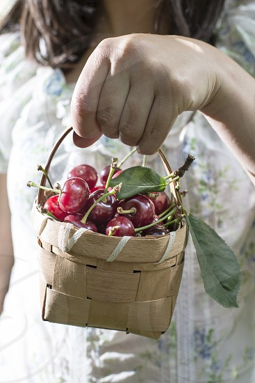 Woman picking cherries with basket in the garden. photo