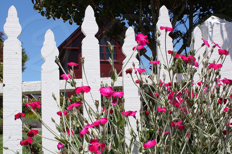 Pink Flowers grow wild near a white picket fence; a red house can be seen behind it. photo