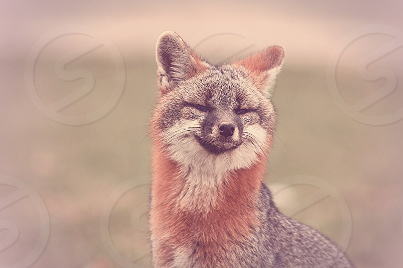 brown grey and white fox photo