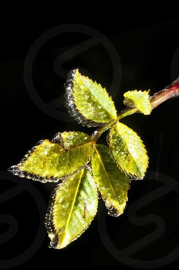 iced leaf photo