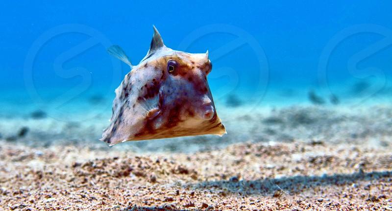 Box fish in Red sea Eilat Israel.                     photo