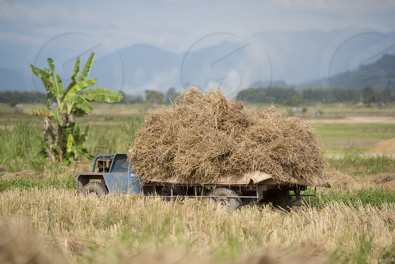 rice farmer at the earning of rice on a ricefield in the north of the city Chiang Rai in North Thailand. photo