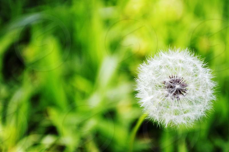 make a wish green grass flower dandelion  photo
