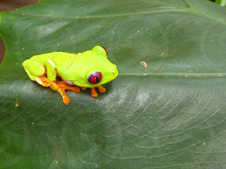 Close up of green frog Costa Rica lily pad photo