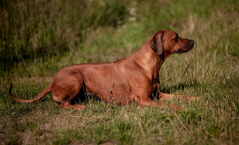Rhodesian Ridgeback female - portrait - dog lying on the green grass. Last evening sunny rays. photo