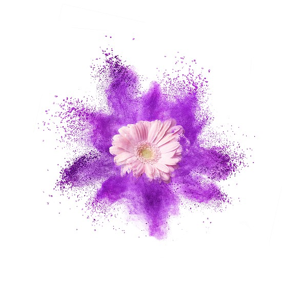 Pink gerbera flower and splash of ultraviolet powder on a white background. PANTONE Ultra Violet. Color of the Year 2018 Pantone photo