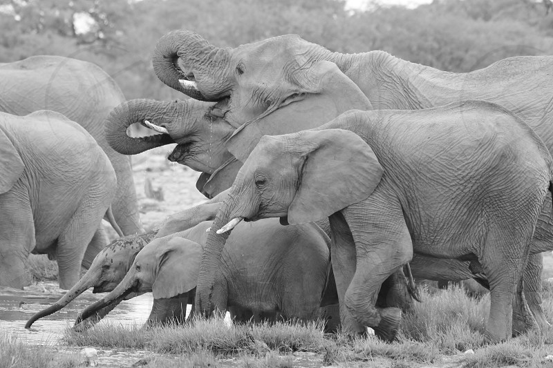 A herd of African Elephant visit a watering hole as seen in the wilds of Namibia southwestern Africa.  A family herd's bonds are as strong as that of humans.  With curled trunks and family love this image shows the incredible journey of life for one and all man and animal.   photo