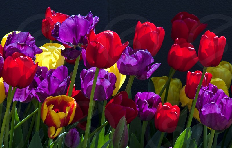 Brightly coloured tulips with black background. photo