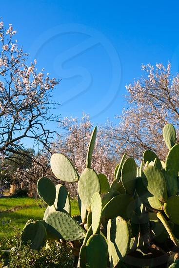 Mediterranean spring landscape in Javea Denia with flower almonds and cactus photo