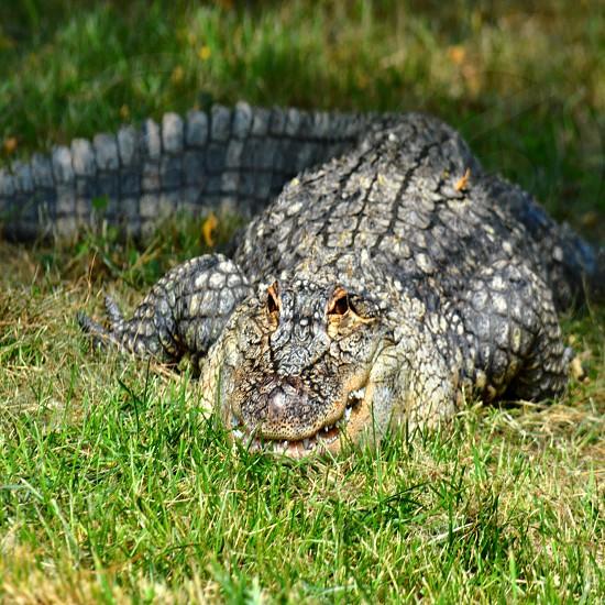 black crocodile photo