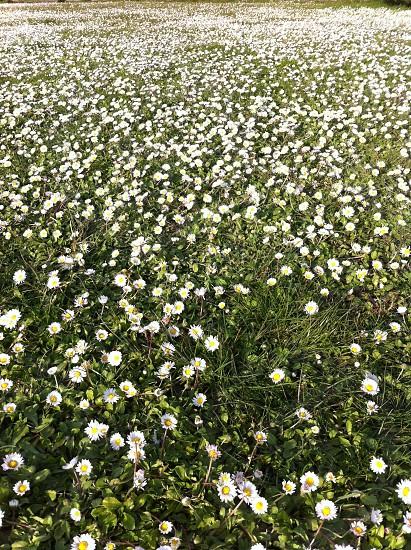 white daisy photo